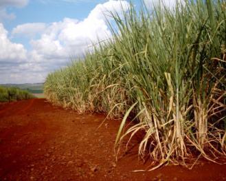 Plantação de cana-de-açúcar. (Imagem: Portal EcoDebate)